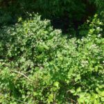 Akazienhonig Brombeerblüte
