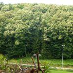 Blüten Bäume Edelkastanie